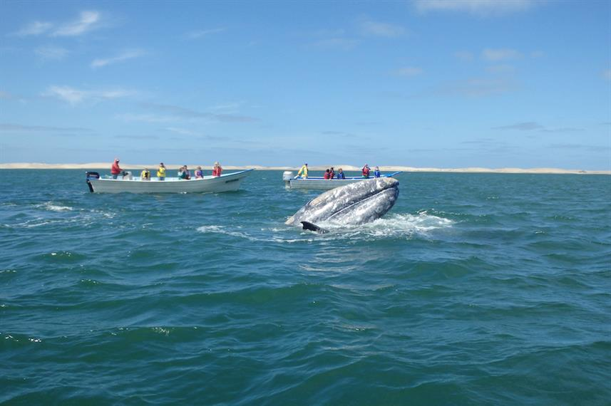 Grey Whale in Baja, Mexico