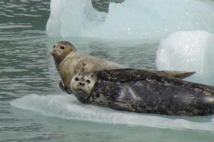 Seals in Alaska - MV Catalyst