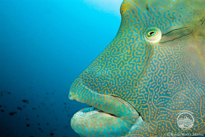 Humphead Wrasse - Maldives