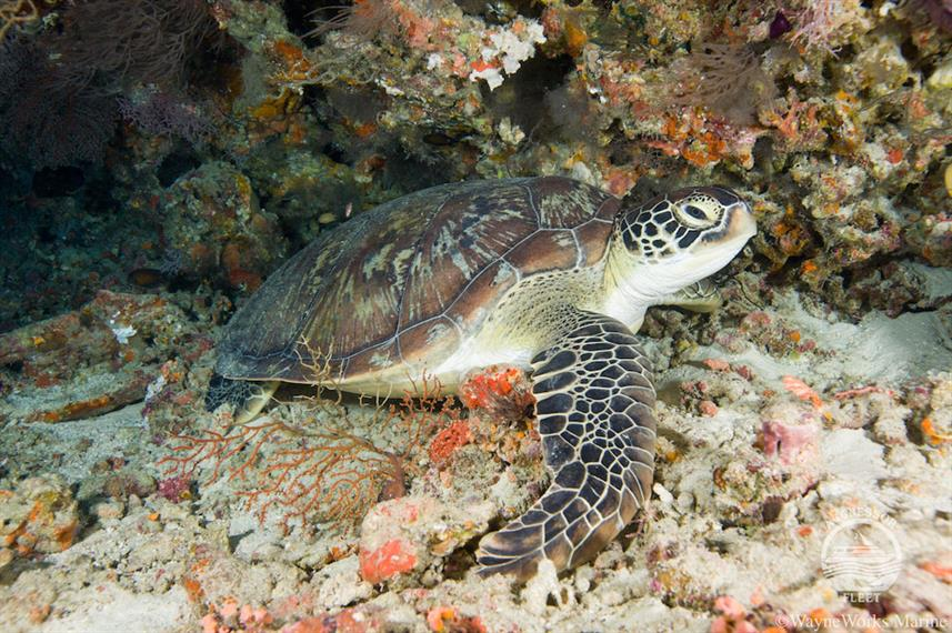 Tortue - Maldives Aggressor II