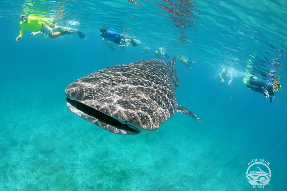 Divers swimming with whale shark