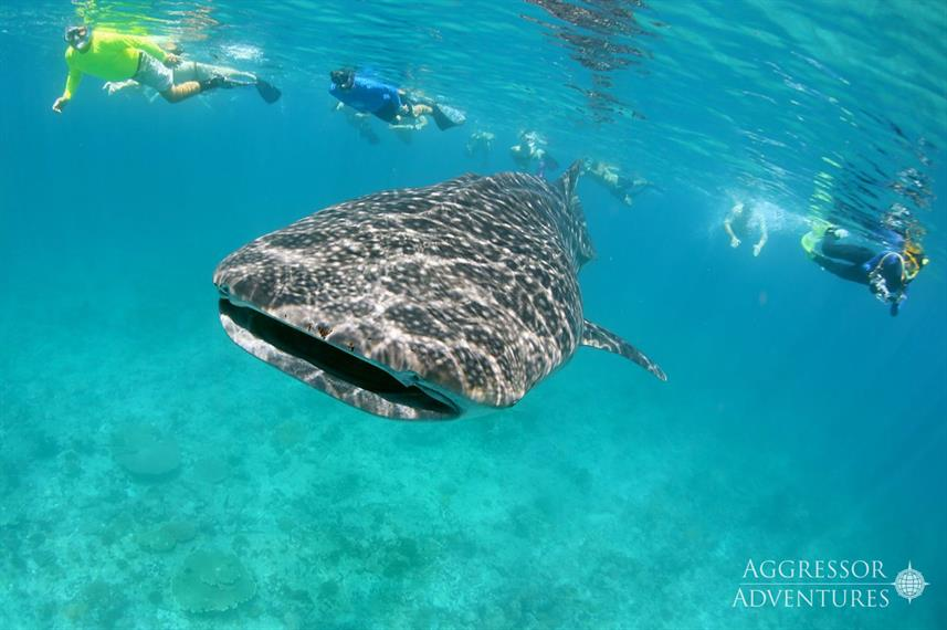 Whale Shark - Maldives Aggressor II