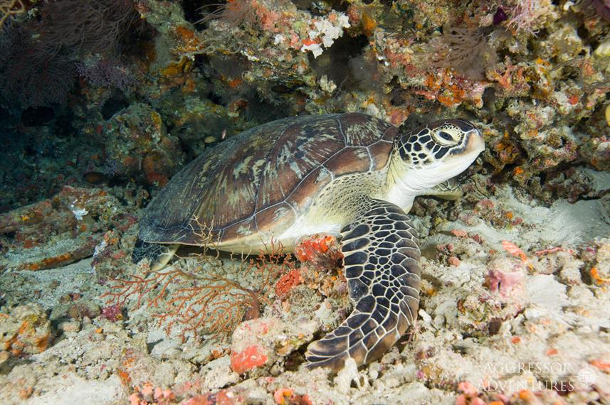 Turtle - Maldives Aggressor II