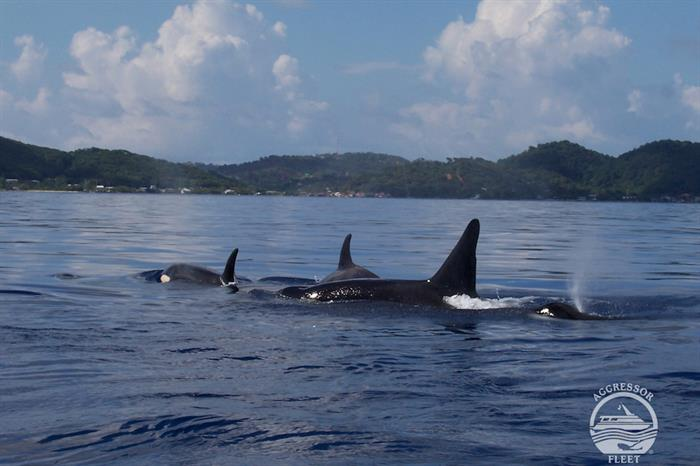 Dolphins in Roatan