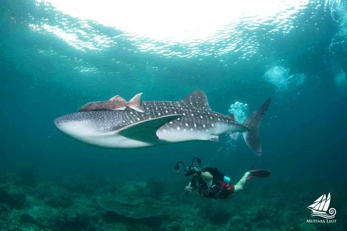 Diving with Whale Sharks Indonesia