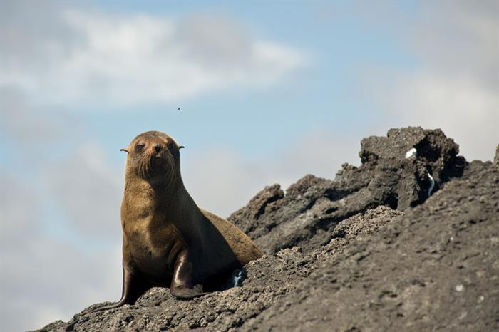 Fur Seal in the Galapagos