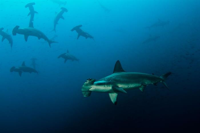 Diving with schooling hammerhead sharks - Galapagos