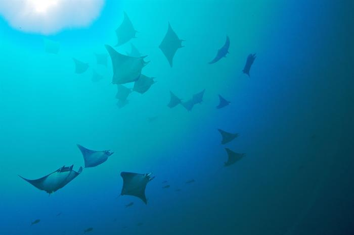 Diving with schools of rays - Galapgos
