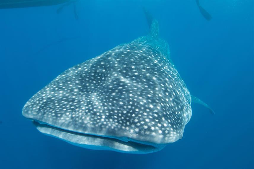 Diving with whale sharks in the Galapagos Islands