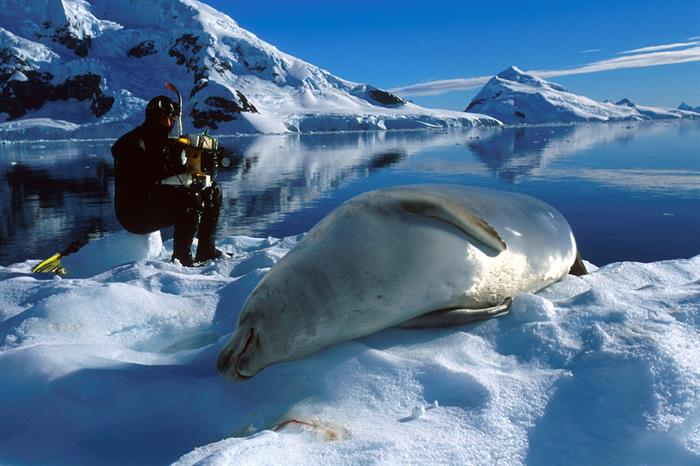 Lounging Crabeater Seal