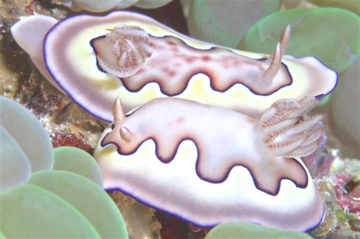 Mating Nudibranchs - Andaman Sea Thailand