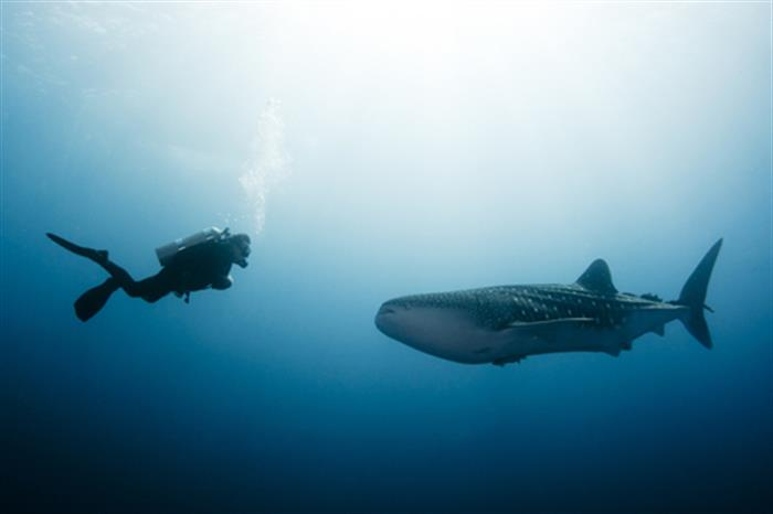 Diver and Whale Shark - Andaman Sea Thailand