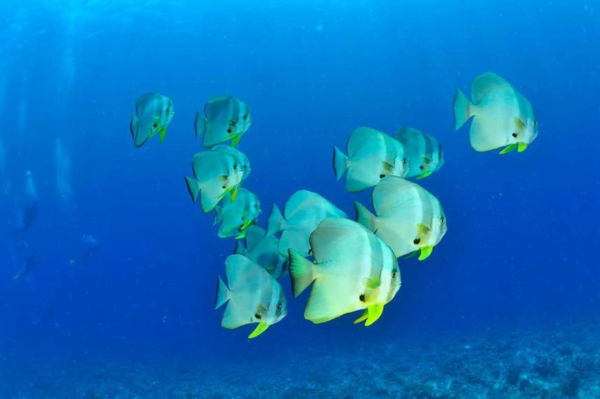 School of Bat Fish - Nosy Be, Madagascar