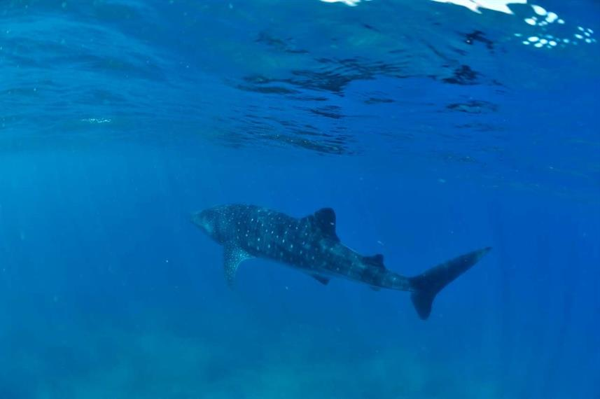 Diving with whale sharks in Madagascar