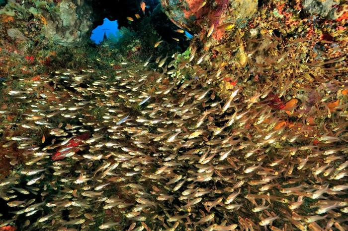 Schools of glass fish - Madagascar