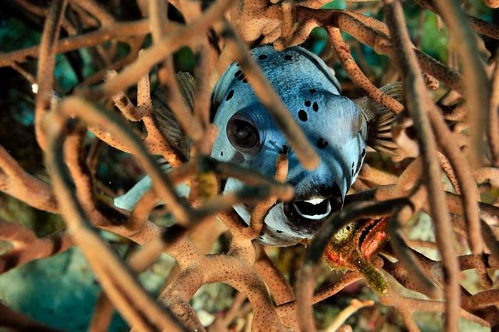 Hiding Pufferfish - Madagascar