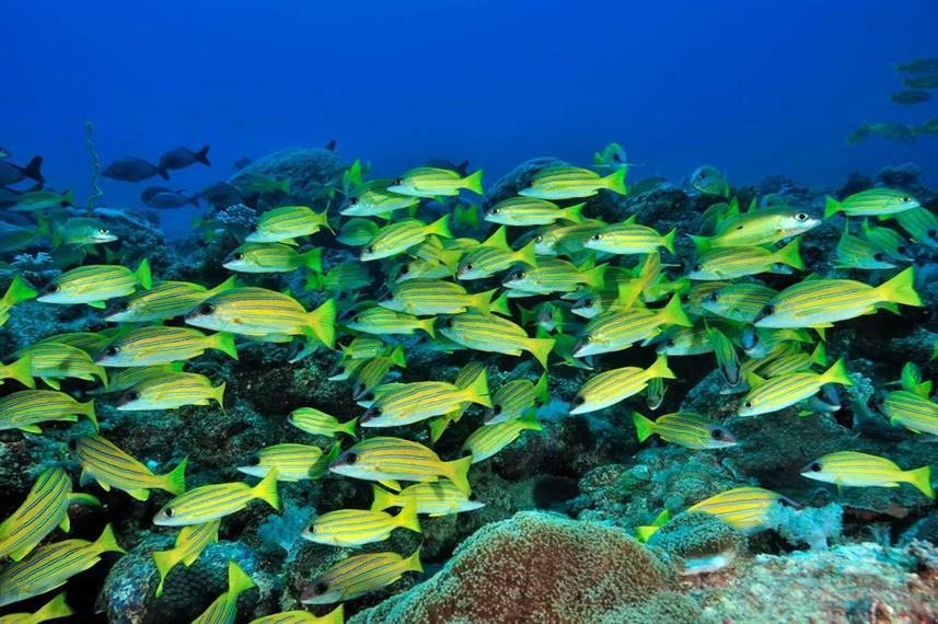 Schools of snapper in Madagascar