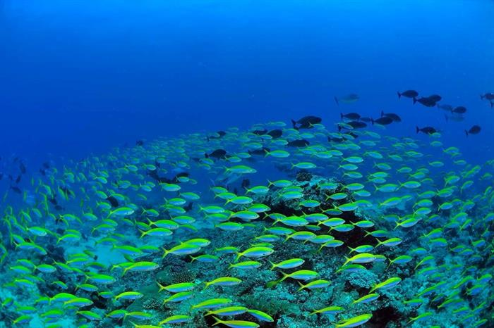 Schools of snapper - Diving Madagascar