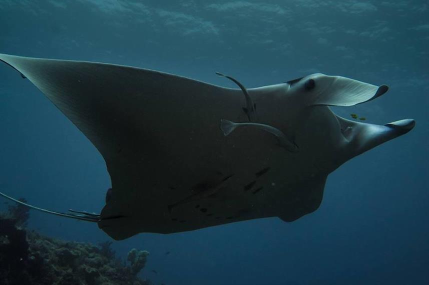 Diving with Manta Rays in Indonesia