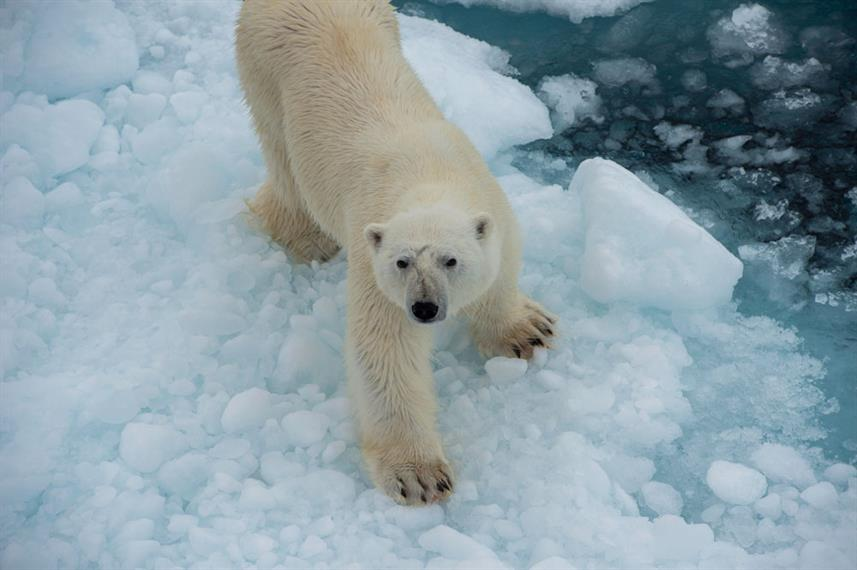 Arctic Expedition Polar Bear Ice