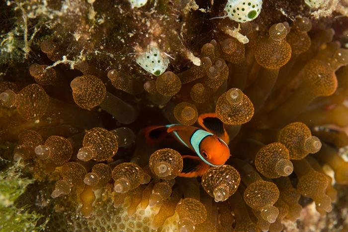 solomon islands anemonefish