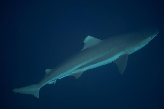 solomon islands blacktip reef shark