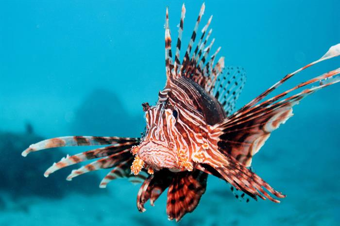 Lionfish in the Great Barrier Reef