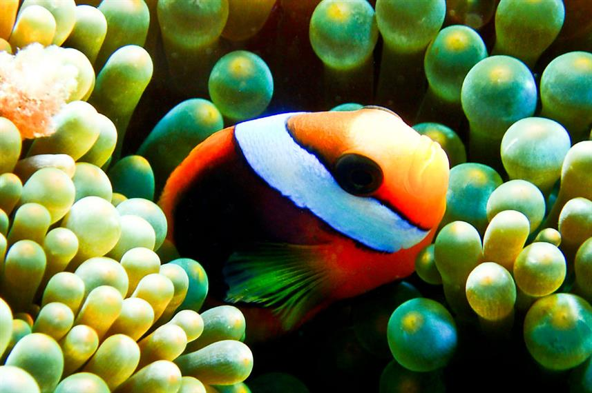 Underwater Clown Fish - Coral Sea Dreaming Australia