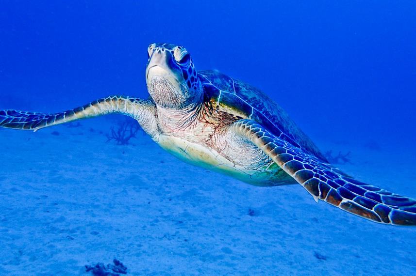 Underwater with Sea Turtle at Coral Sea Dreaming Australia