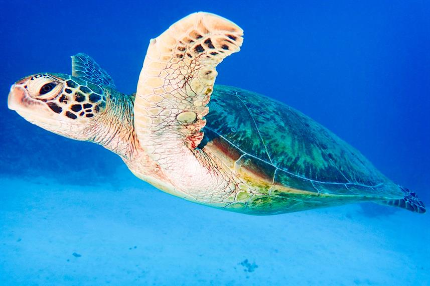 Turtle - Coral Sea Dreaming