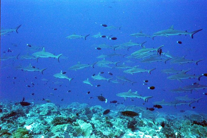 Schools of Reef Sharks in French Polynesia