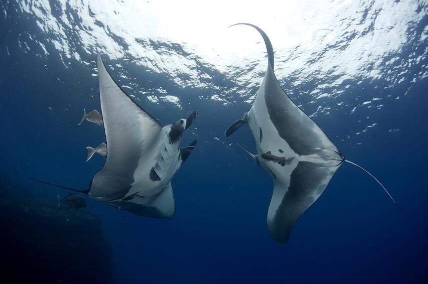 Playful Giant Mantas