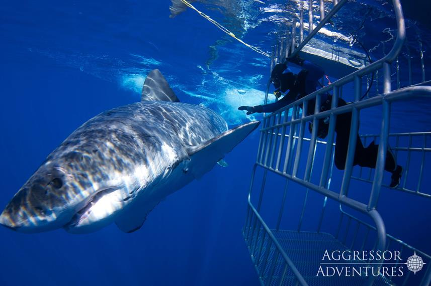 Guadalupe Shark Cage Diving