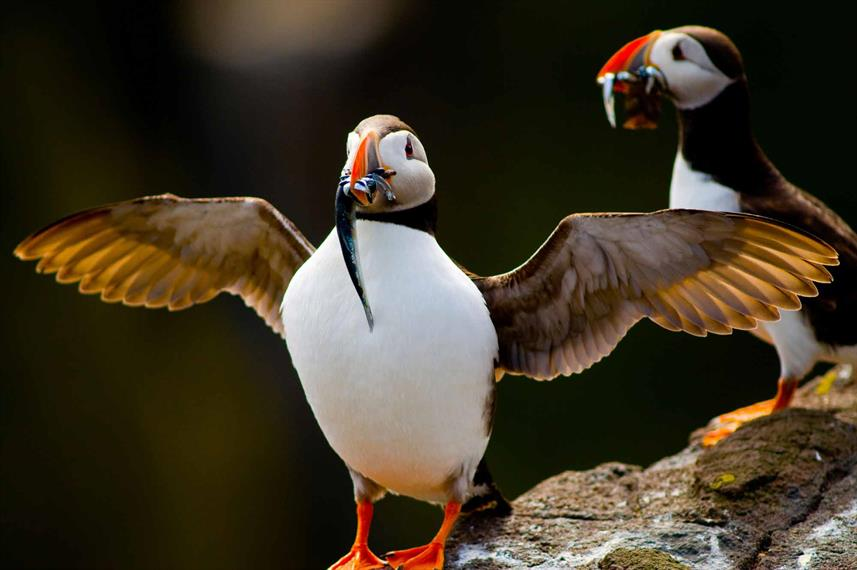 Puffins with fish